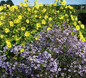 Michaelmas Daisy 'Calliope' & Perennial Sunflower 'Lemon Queen' combination