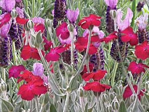 Rose Campion & Spanish Lavender combination