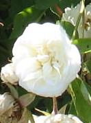 Rose Lamarque