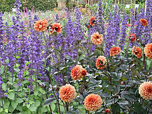 Sage 'Mystic Spires' & Dahlia 'David Howard' Combination