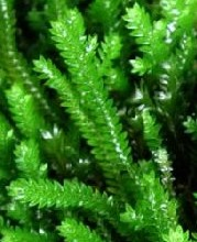 Selaginella_sp