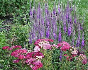 Speedwell And Yarrow Plant Combination