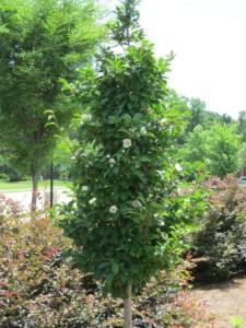 Stewardia-pseudocamellia my garden