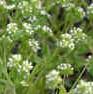 Valerianella radiata beaked corn salad 2