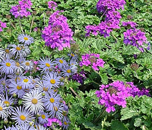Verbena canadensis 'Homestead Purple' & Frikart's Aster combination