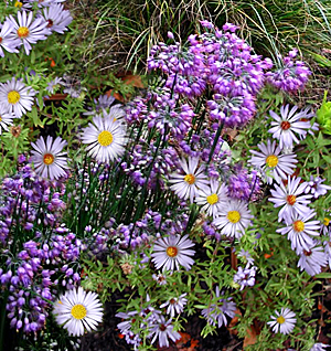 aster-onion combination