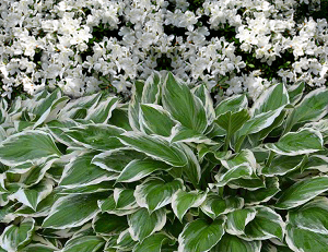 azalea-hosta combination