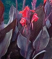 canna-australis