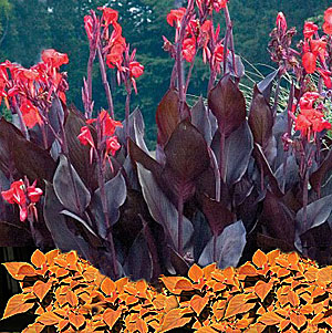 canna-coleus combination