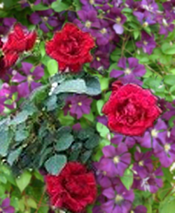 clemats etoile violotte & rose don juan combination