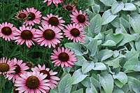 coneflower-lambs ears combination