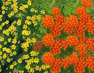 coreopsis-asclepias combination