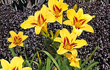 daylily-perilla combination