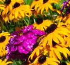 garden phlox & black eyed susan combination