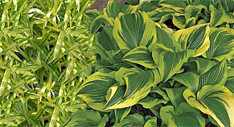 hosta-bamboo combination