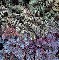 japanese painted fern & heuchera combination