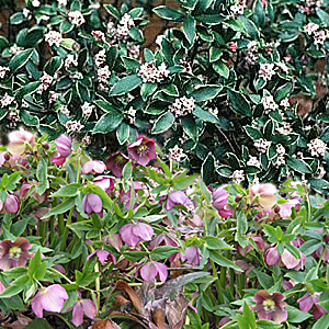 lenten rose-daphne combination