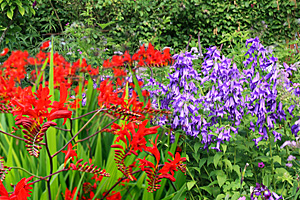 milky bellflower-crocosmia combination