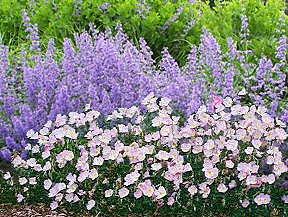 nepeta faassenii & pink evening primrose combination