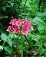 primula-japonica