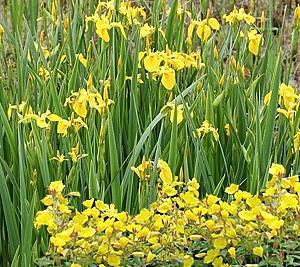 sundrops & yellow flag iris combination