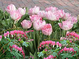 tulip-common bleeding heart combination