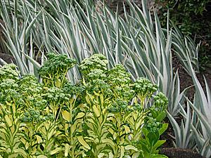variegated stonecrop-variegated iris combination