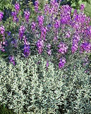white sage-wallflower combination