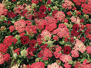 yarrow-dianthus combination