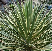 yucca-filamentosa-color-guard