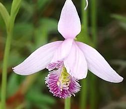 Pogonia_ophioglossoides_Wikipedia