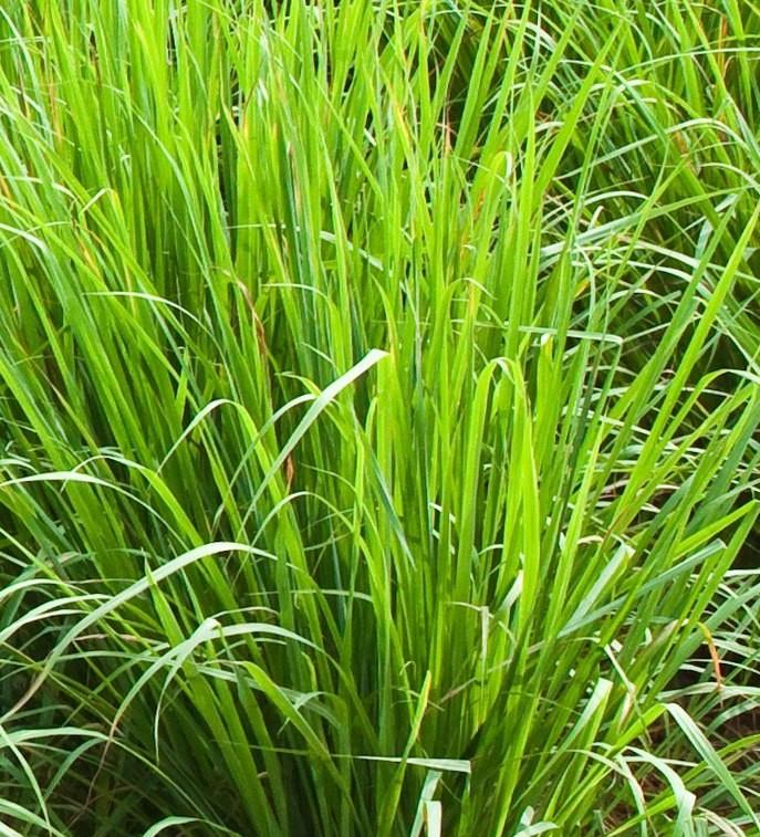 cymbopogon-citratus-l