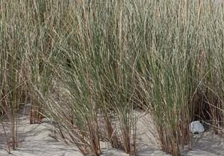 Ammophila arenaria 2