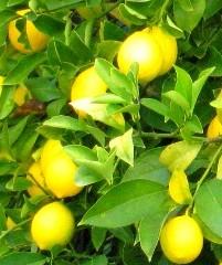 lemon-Meyers 2