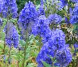Aconitum carmichaelii Barker's Variety