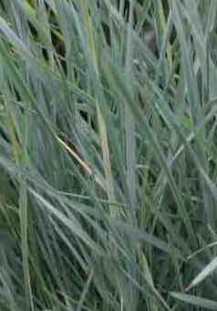 Elymus arenarius
