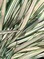 Phalaris arundinacea Freesy Form 2
