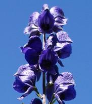 Aconitum napellus vulgare Gewöhnlicher Blauer Eisenhut