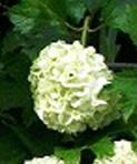 viburnum_opulus_roseum 2