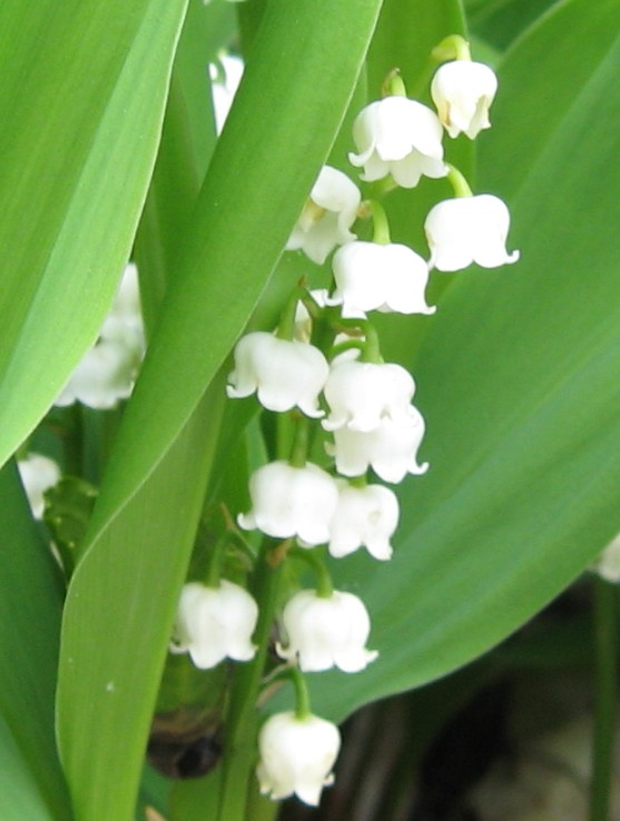 Convallaria majalis lily_of_the_valley