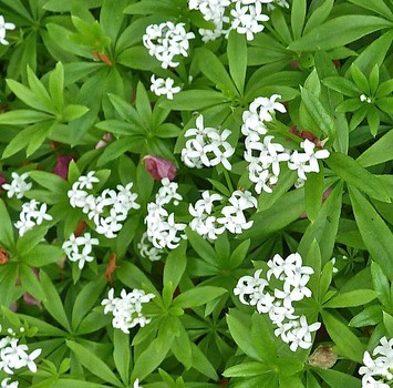 Spring blooming perennials with white flowers for the front of the spring blooming perennials with white flowers for the front of the garden mightylinksfo