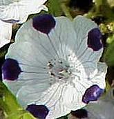 Nemophila_maculata_1