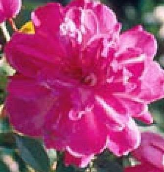 Rose Old Blush