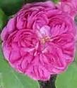 Rose de rescht 2