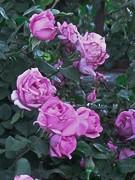 The McCartney Rose HT 2 bush