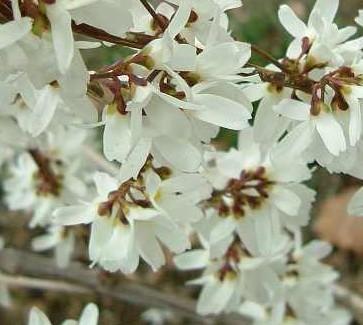 abeliophyllum_distichum_fl