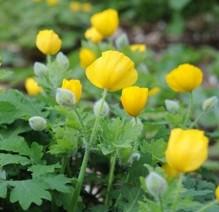 stylophorum-diphyllum