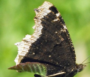 Mourning cloak wings closed