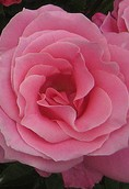 Hybrid tea rose 'Bewitched'