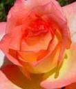 rose duftwolke tantau